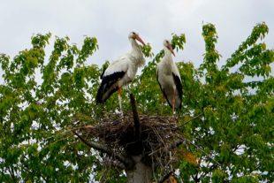 Störche haben ein Nest in Unterharmersbach gefunden