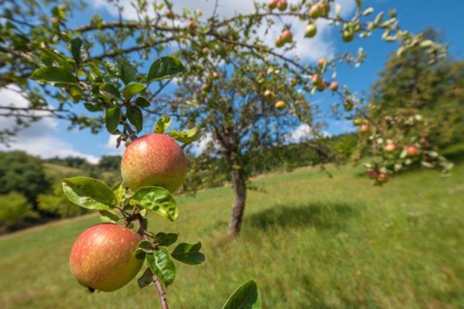 Apfel-Most-Wochen Oberharmersbach