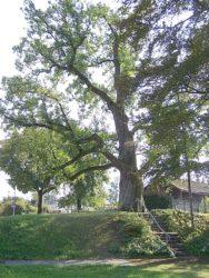Kastanienbaum am Bahnhof soll möglichst erhalten bleiben
