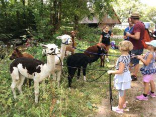 Mit Alpakas zur Kornebene gewandert