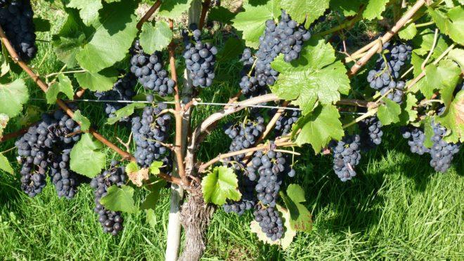 Schwarzwaldverein Zell a. H.: Weinwanderung in Oberkirch