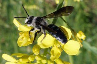 2019-1-25-Naturpark Schwarzwald-Wildbienen des Jahres 2019-2019_01_21_BNPe1 Die Senf-Blauschillersandbiene am Raps