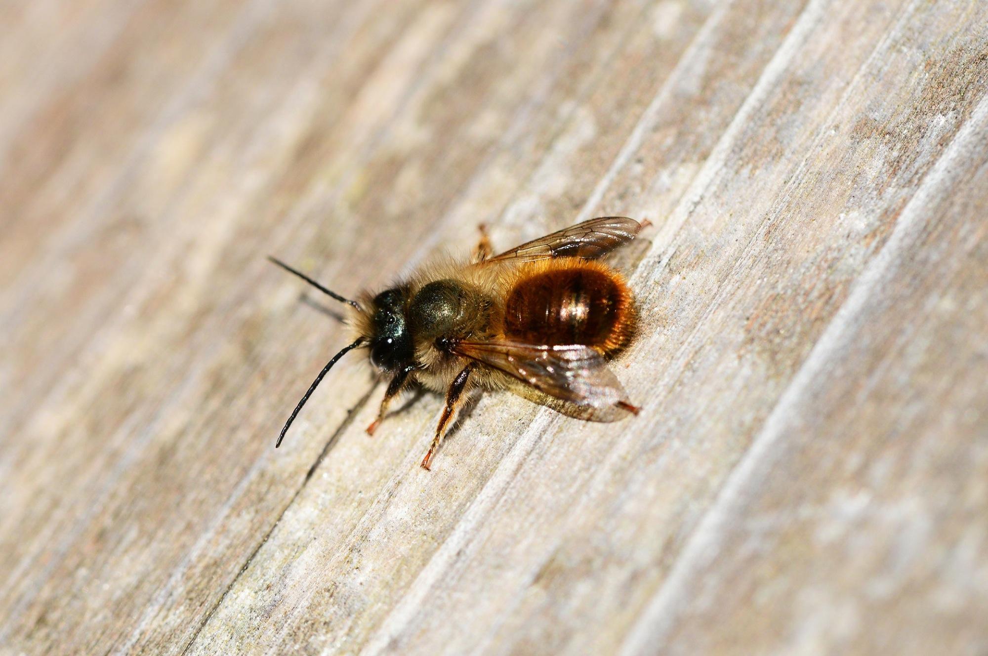 2019-1-25-Naturpark Schwarzwald-Wildbienen des Jahres 2019-2019_01_21_BNPe2 Eine Rostrote Mauerbiene