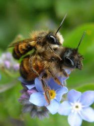 Die Senf-Blauschillersandbiene ist Wildbiene des Jahres 2019