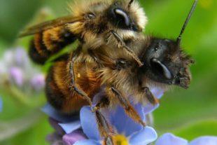 2019-1-25-Naturpark Schwarzwald-Wildbienen des Jahres 2019-2019_01_21_BNPe3 Ein Pärchen der Rostroten Mauerbiene