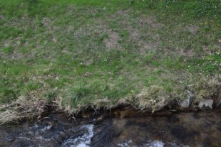 Vorzeigeprojekt in Nordrach: Rein biologische Bekämpfung der Neophyten