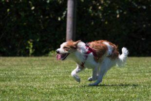 HSV Biberach/Zell: Wer wird in diesem Jahr wohl der »schnellste Hund im Kinzigtal«?