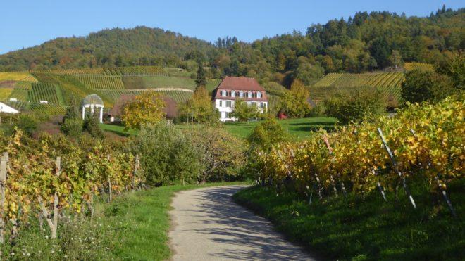 Schwarzwaldverein Zell a. H.: Weinwanderung durch Ortenauer Reben