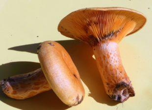 Gasthof »Rebstock« Zell-Stöcken: Pilze-Exkursion mit dem Pilz-Sachverständigen Christian Petersen