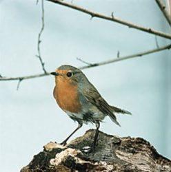 Vogelstimmen erkennen lernen