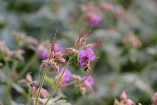 So wird der Garten zur Bienenweide