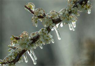 Eisiger Frühling – Schutz der Obstanlagen sorgt für faszinierende Bilder