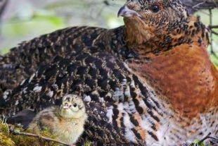 Darum können Heidelbeer-Sammler den Auerhühnern gefährlich werden