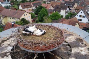 Zahlreiche Storchenkinder in den Nestern