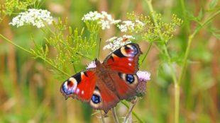 Knapp 900 neue Wildblumenwiesen als Lebensraum für Insekten