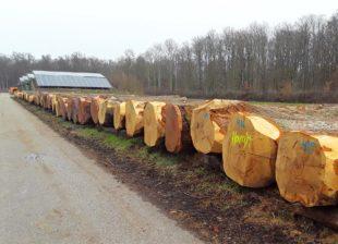 Traubeneiche aus dem Stadtwald erbrachte 1.169 Euro je Festmeter