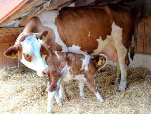 Mehr Zeit zu zweit für Kuh und Kalb