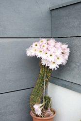 Kaktus trägt 26 zarte Blüten